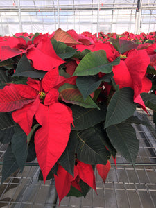Poinsettias 10""
