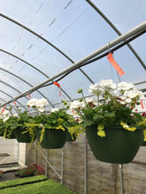 Load image into Gallery viewer, Geranium / Lysimachia, White Hanging Basket