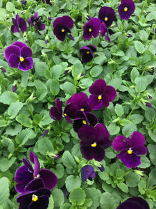Pansy, Matrix Purple - Flat