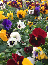Load image into Gallery viewer, Pansy, Colossus Blotch Mix Color Tray