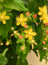 Load image into Gallery viewer, Hypericum, Floral Berry Pinot #2