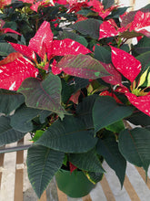 Load image into Gallery viewer, Poinsettias 8""