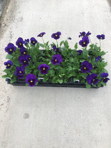 Pansy, Matrix Blue Blotch - Flat