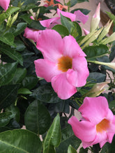 Load image into Gallery viewer, Dipladenia Pink 10""
