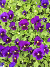 Load image into Gallery viewer, Pansy, Matrix Blue Blotch - Flat