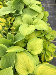 Hosta 'Stained Glass' #1