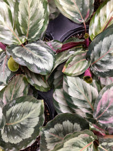 Load image into Gallery viewer, Calathea Medallion 6""