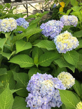 Load image into Gallery viewer, Hydrangea Nantucket Blue #3