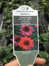 Load image into Gallery viewer, Echinacea 'Coral Craze' (Coneflower) QT