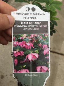 Helleborous 'Maid of Honor' (Lenten Rose) #1