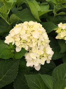 Hydrangea Endless Summer Blushing Bride #3