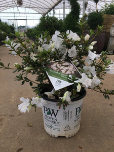 Azalea Bloom-a-thon White 8""