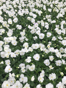 Pansy, Matrix White - Flat