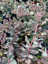 Load image into Gallery viewer, Sedum, 'Dazzleberry' (Stonecrop) QT