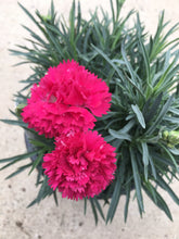 Load image into Gallery viewer, Dianthus 'Cranberry Cocktail' #1 PW