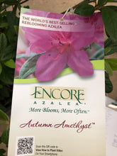 Load image into Gallery viewer, Azalea Encore Amethyst #3