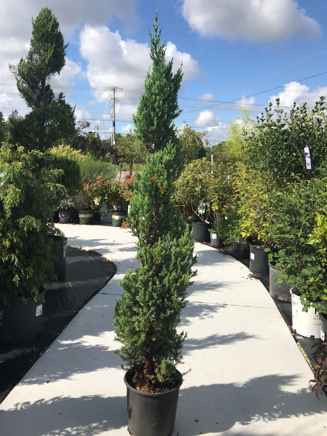 Juniper Blue Point SPIRAL #1