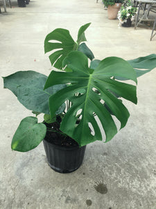 Philodendron Monstera 10""