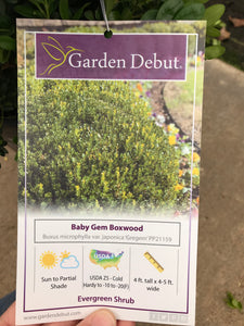 Boxwood Baby Gem #3