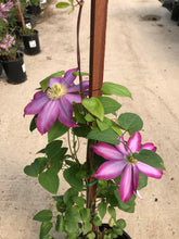 Load image into Gallery viewer, Clematis Pink Champagne #1