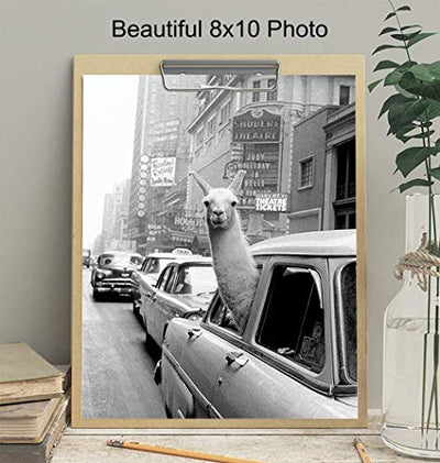New York City Photograph - Llama in NYC Taxi Wall Art Photo - 8x10 Picture Print - Gift for New Yorker, NY, Big Apple, Manhattan Fans - Unframed Poster