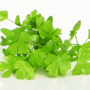 Herb: Micro Parsley
