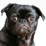 Cute Pug Dog Home Decor