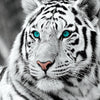 White Tiger Diamond Embroidery