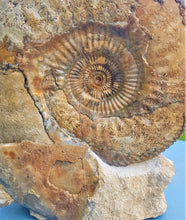 Load image into Gallery viewer, Large Parkinsonia display ammonite (260 mm)