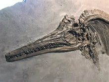 Load image into Gallery viewer, Replica juvenile <em>Ichthyosaurus</em> communis from Lyme Regis
