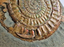 Load image into Gallery viewer, Very large 98 mm subtly iridescent Caloceras display ammonite