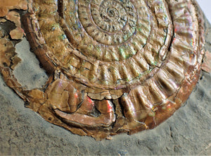 Very large 98 mm subtly iridescent Caloceras display ammonite