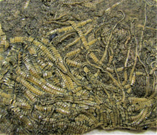 Load image into Gallery viewer, Big, highly detailed crinoid fossil (98 mm)