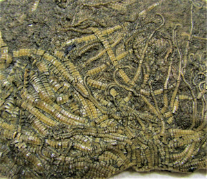 Big, highly detailed crinoid fossil (98 mm)