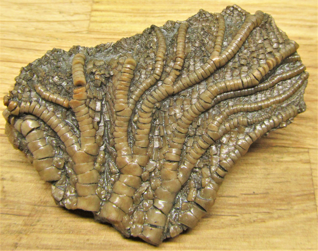 Pentacrinites crinoid head (49 mm)