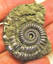 Load image into Gallery viewer, Large Pyrite Crucilobiceras ammonite (36 mm)
