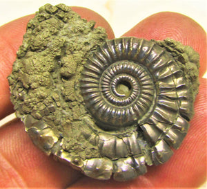 Large Pyrite Crucilobiceras ammonite (36 mm)