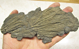 Large double pyrite crinoid (175 mm)