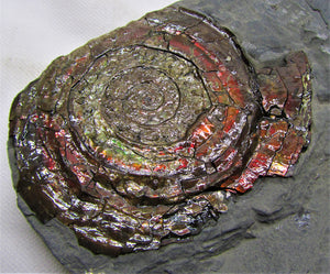 Large iridescent Psiloceras ammonite display piece