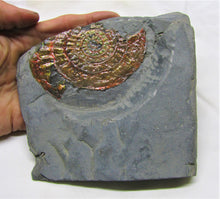 Load image into Gallery viewer, Fiery rainbow iridescent Caloceras display ammonite