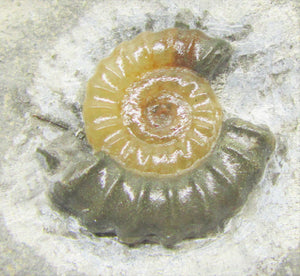 Calcite Promicroceras ammonite display piece