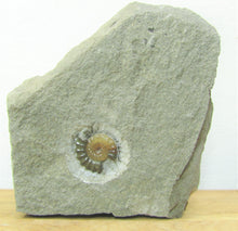 Load image into Gallery viewer, Calcite Promicroceras ammonite display piece