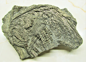 Large 3D golden pyrite crinoid (140 mm) <em>Pentacrinites</em>