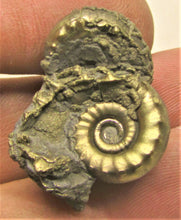 Load image into Gallery viewer, Pyrite multi-Eoderoceras ammonite fossil (30 mm)