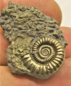 Pyrite Crucilobiceras ammonite (31 mm)