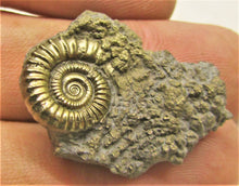 Load image into Gallery viewer, Pyrite Crucilobiceras ammonite (31 mm)