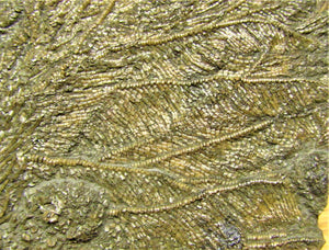 Large detailed crinoid fossil (118 mm)