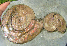Load image into Gallery viewer, Iridescent double Psiloceras ammonite display piece