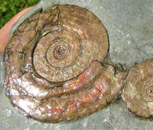 Iridescent double Psiloceras ammonite display piece