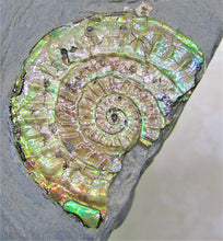 Load image into Gallery viewer, Iridescent green Caloceras display ammonite